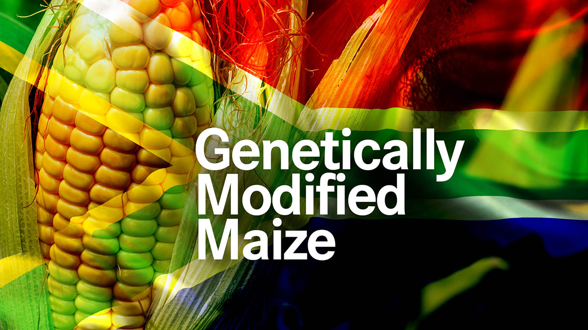 GMO Maize in South Africa